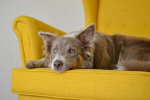 Brown dog relaxing on yellow chair