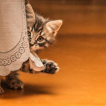 Little tabby kitten hiding behind a curtain.